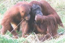 Orangutans gossiping?